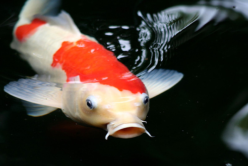 Aquatic creations corp koi for Japanese koi names